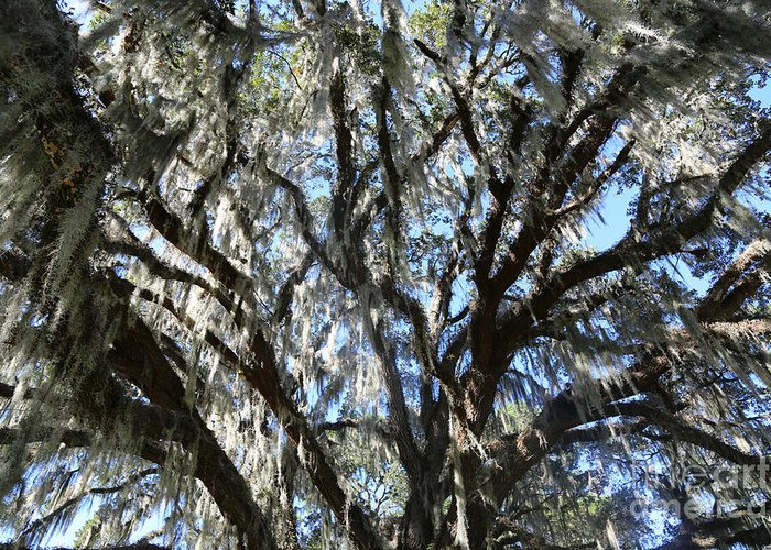 Tree Greeting Card featuring the photograph Southern Perspective - Mossy Live Oak by Carol Groenen