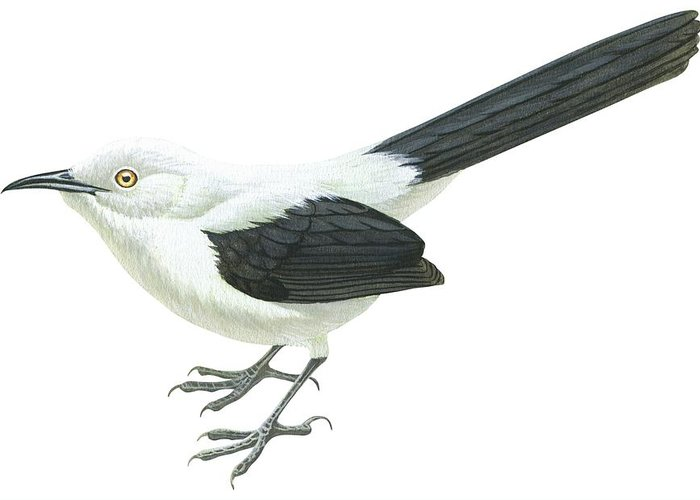 No People; Horizontal; Full Length; White Background; One Animal; Wildlife; Turdoides Bicolor; Southern Pied Babbler; Zoology; Black Color; White Color Greeting Card featuring the drawing Southern Pied Babbler by Anonymous