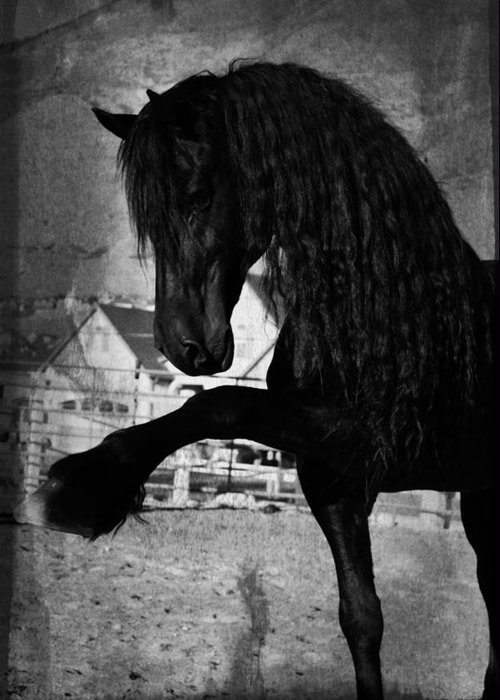 Friesian Stallion Canvas Print Greeting Card featuring the photograph Spanish Walk by Royal Grove Fine Art