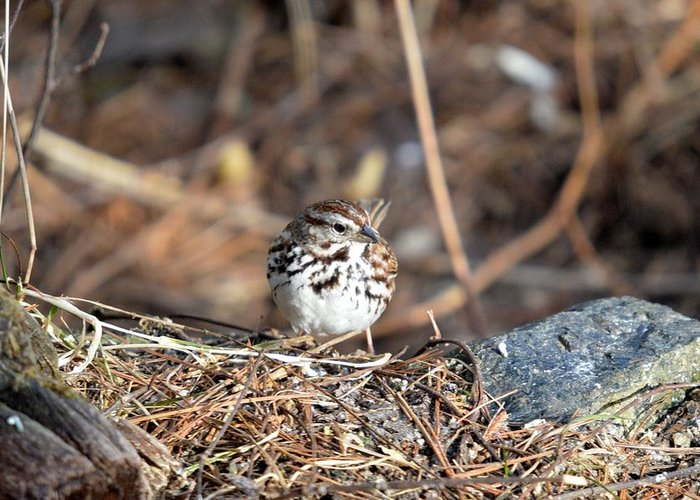 Song Sparrow Greeting Card featuring the photograph Sparrow by Thomas Phillips