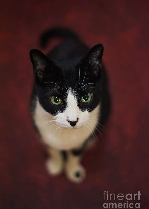 Cat Portrait. Tuxedo Cat. Black And White Cat.cat Eyes. Staring Cat. Greeting Card featuring the photograph Spider The Ring Master Tuxedo by Tina Osterhoudt