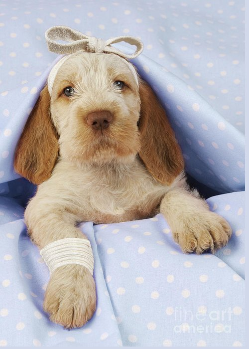 Spinone Greeting Cards