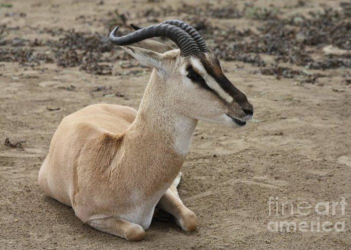 Spiral Horned Antelope Greeting Card featuring the photograph Spiral Horned Antelope by John Telfer