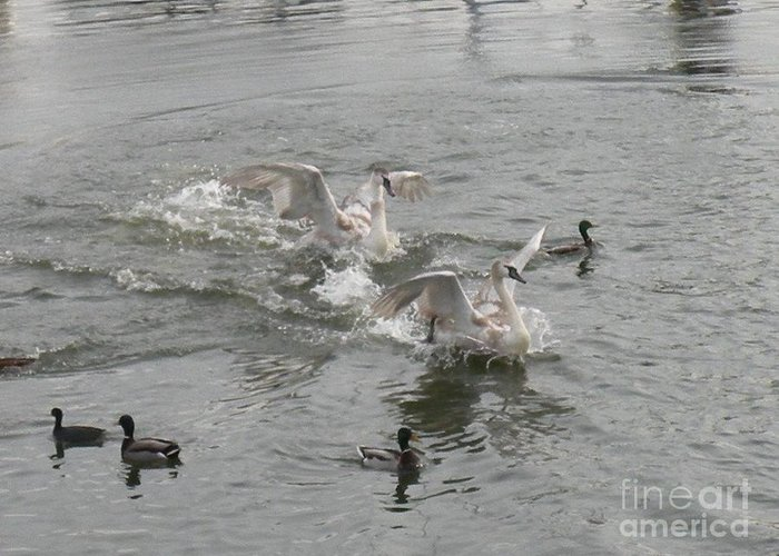 Swans Greeting Card featuring the photograph Splashes by Nancy Taylor Major