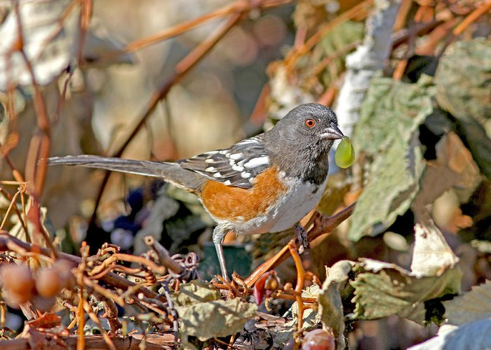Birds Greeting Card featuring the photograph Spotted Towhee by Gary Wing