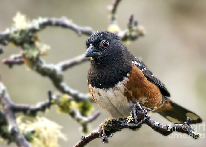 Spottet Towhee Greeting Card featuring the photograph Spottet Towhee With Attitude by Inge Riis McDonald