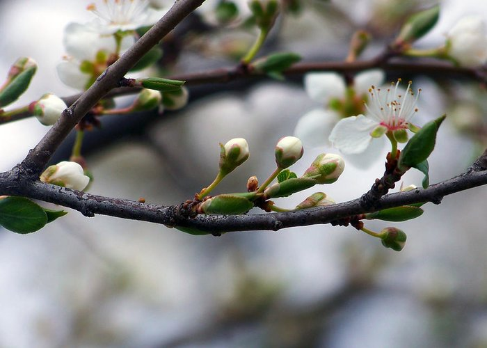 Spring Greeting Card featuring the photograph Spring Buds by Marius Mitea