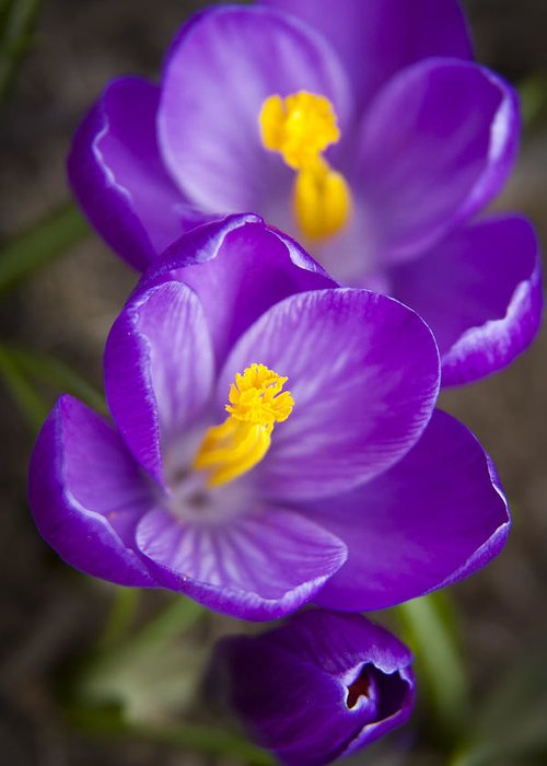 3scape Photos Greeting Card featuring the photograph Spring Crocus by Adam Romanowicz