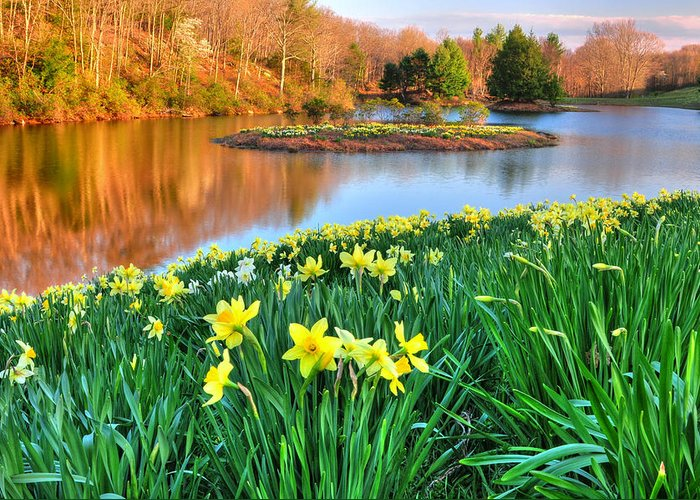 Flowers Greeting Card featuring the photograph Spring Daffodils At Laurel Ridge-connecticut by Thomas Schoeller