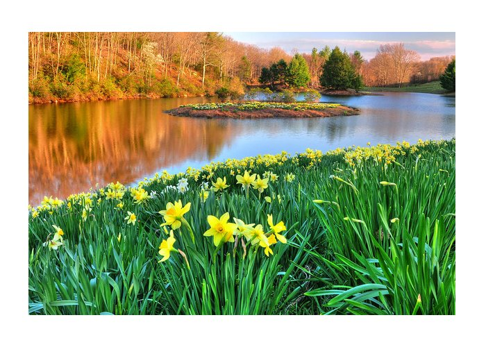 Flowers Greeting Card featuring the photograph Spring Daffodils At Laurel Ridge-connecticut by Expressive Landscapes Fine Art Photography by Thom