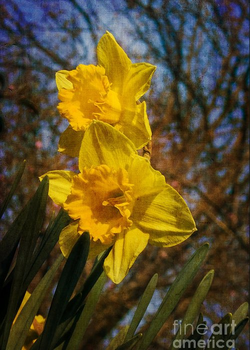 Daffodil Odorus Greeting Card featuring the photograph Spring Daffodils by Brian Roscorla
