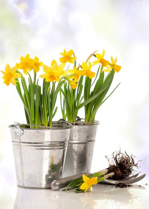 Spring Greeting Card featuring the photograph Spring Daffodils by Amanda Elwell