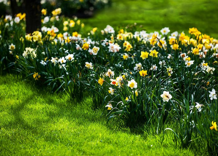 Spring Greeting Card featuring the photograph Spring Daffodils. Park Keukenhof by Jenny Rainbow