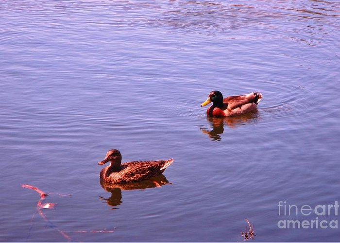 Spring Ducksnature Greeting Card featuring the photograph Spring Ducks by John Malone
