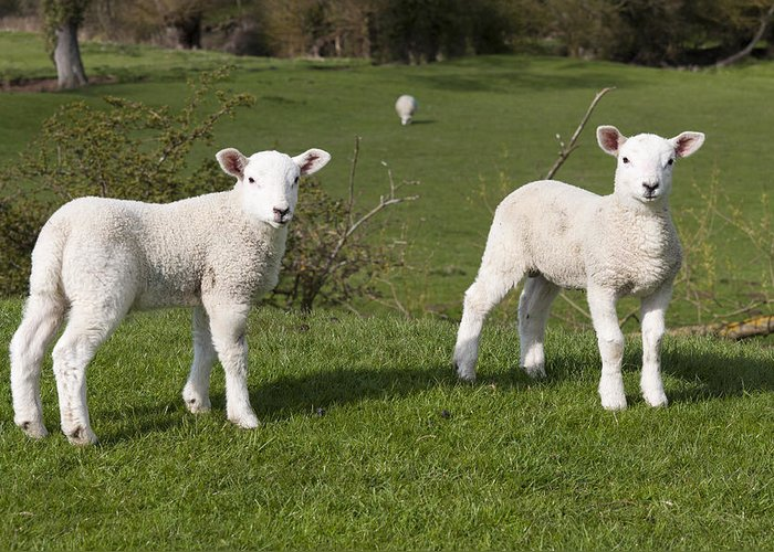 Spring Greeting Card featuring the photograph Spring Lambs by David Isaacson