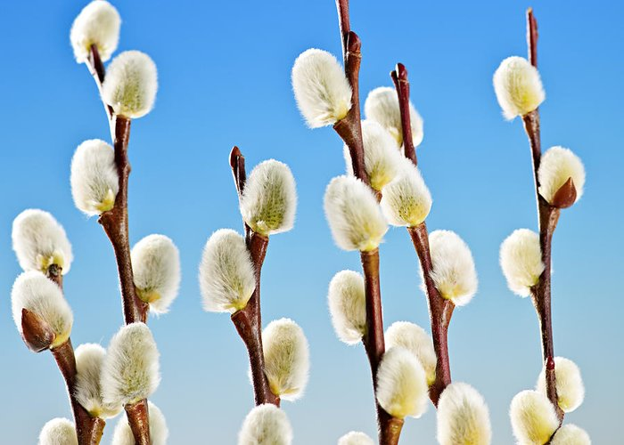 Pussy Willow Greeting Card featuring the photograph Spring Pussy Willows by Elena Elisseeva