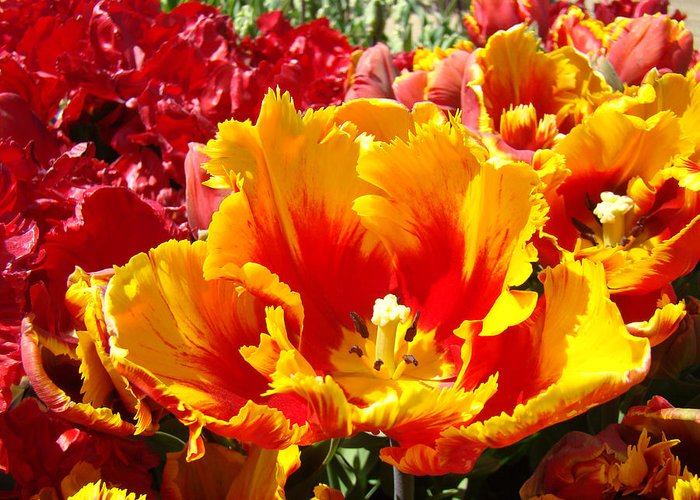 Yellow Greeting Card featuring the photograph Spring Tulip Flowers Art Prints Yellow Red Tulip by Baslee Troutman