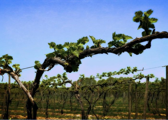 Grape Vines Greeting Card featuring the photograph Spring Vineyard by Michelle Calkins