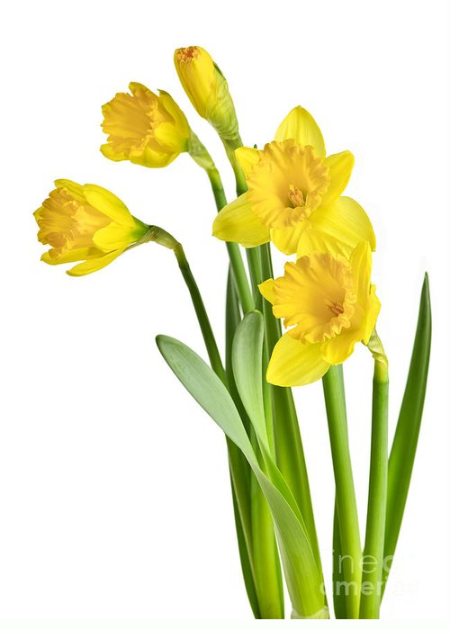 Flowers Greeting Card featuring the photograph Spring Yellow Daffodils by Elena Elisseeva