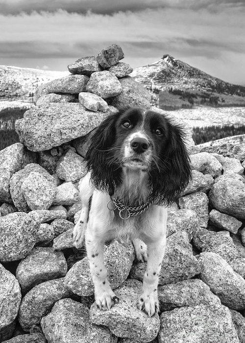 Springer Spaniel Greeting Card featuring the photograph Springer Spaniel by Mike Stephen