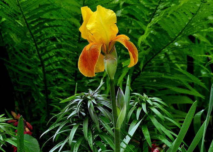 Yellow And Orange Iris; Ferns; Flower Garden. Greeting Card featuring the photograph Spring's Smile I by Larry Jones