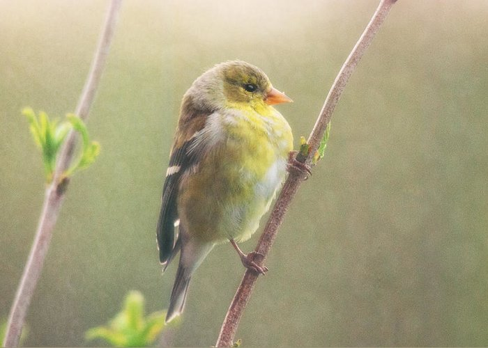 Goldfinch Greeting Card featuring the photograph Springtime Goldfinch by Susan Capuano