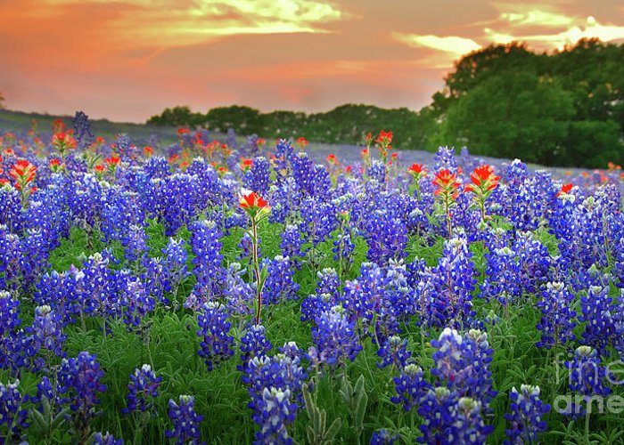 Spring Greeting Card featuring the photograph Springtime Sunset In Texas - Texas Bluebonnet Wildflowers Landscape Flowers Paintbrush by Jon Holiday