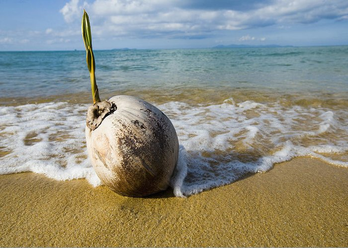 China Sea Greeting Card featuring the photograph Sprouting Coconut Washed Up On Beach by Naki Kouyioumtzis