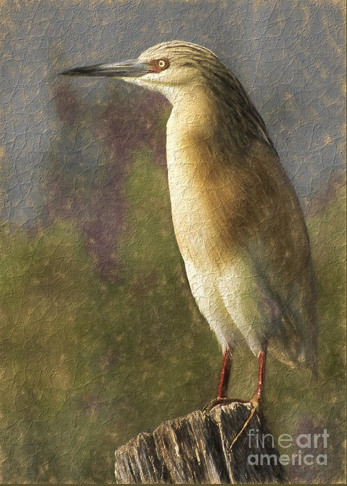 Squacco Heron Greeting Card featuring the digital art Squacco Heron Ardeola Ralloides by Perry Van Munster