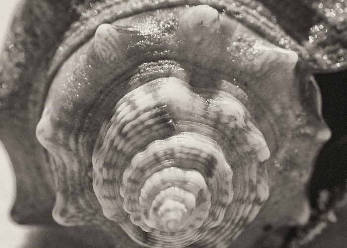 Square Greeting Card featuring the photograph Square Sepia Sea Shell by Birgit Tyrrell