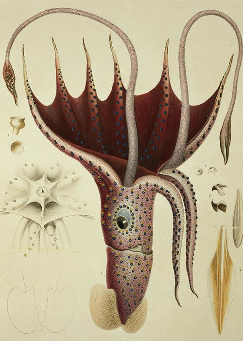Cranchia Greeting Card featuring the painting Squid by A Chazal
