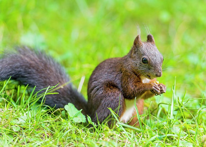 Nut Greeting Card featuring the photograph Squirrel Eating A Nut In The Grass by Picture By Tambako The Jaguar