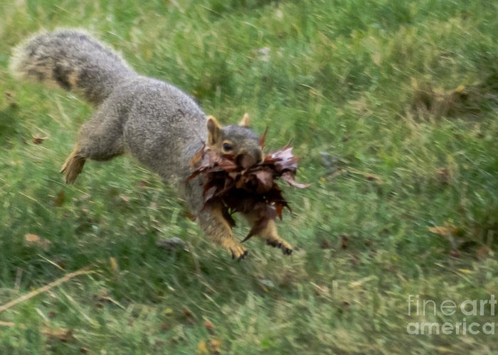 Squirrel Greeting Card featuring the photograph Squirrel Nest Bulding by Robert Bales