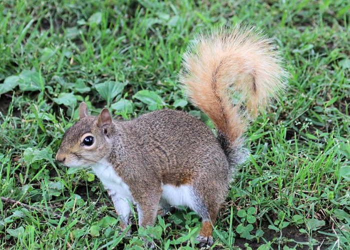 Squirrel Greeting Card featuring the photograph Squirrel On The Ground by Dwight Cook
