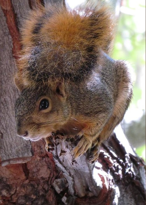 Squirrel Greeting Card featuring the photograph Squirrel by Patricia Feind