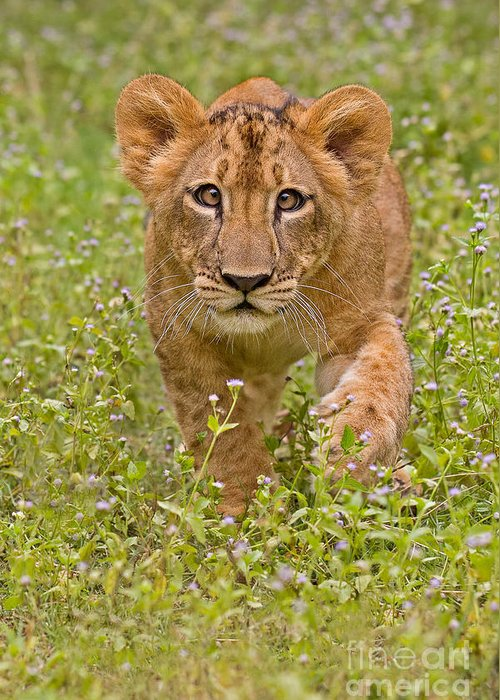 African Greeting Card featuring the photograph Stalking Practice by Ashley Vincent