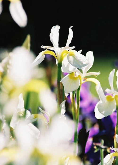 Iris Greeting Card featuring the photograph Standout by Cynthia Syracuse