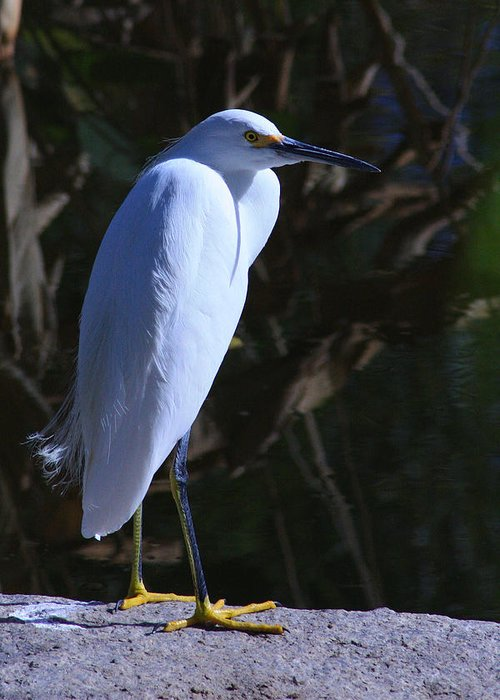 Snowy Egret Greeting Card featuring the photograph Stare Down by Richard Stephen