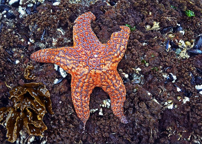 Starfish Greeting Card featuring the photograph Starfish - Oregon Coastline by George Bostian