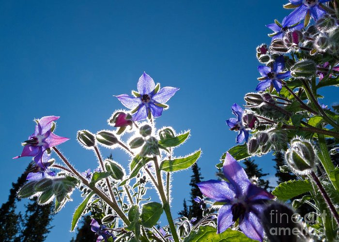 Autumn Greeting Card featuring the photograph Starflower Borago Officinalis by Stephan Pietzko