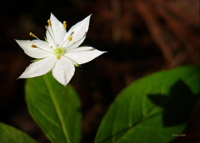 Starflower Greeting Card featuring the photograph Starflower by Christina Rollo