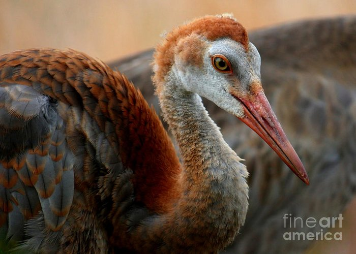 Sandhill Crane Greeting Card featuring the photograph Staying Close To Mom by Carol Groenen