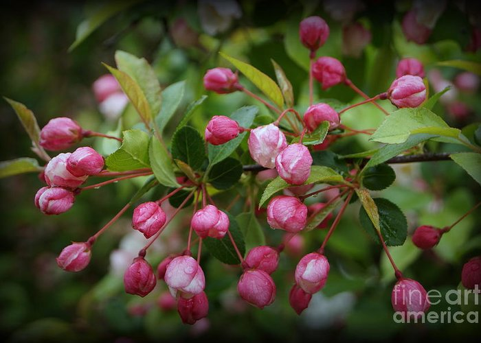 Apple Blossoms Greeting Card featuring the photograph Apple Blossoms During A Rain Shower by Trish H