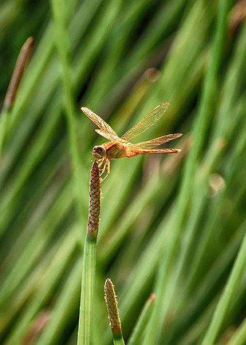 Dragonfly Greeting Card featuring the photograph Steadfast by Dan Dennison