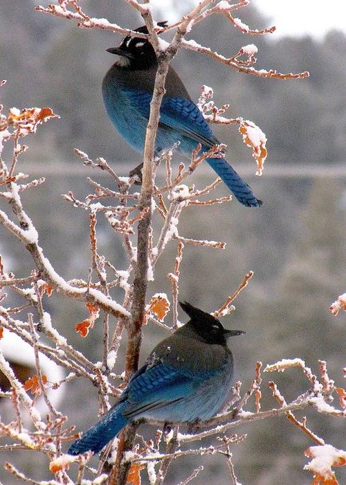 Birds Greeting Card featuring the photograph Steller's Jays by Feva Fotos