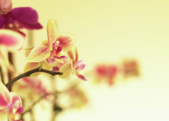 Purple Greeting Card featuring the photograph Stem Of Orchids by Jlph