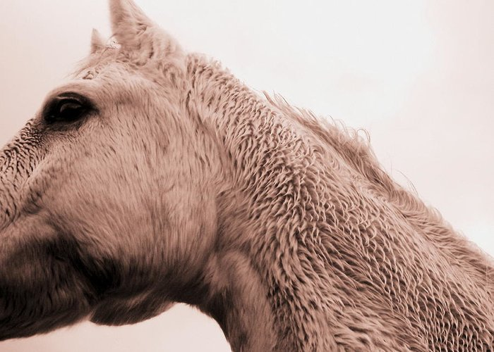White Horse Greeting Card featuring the photograph Sterling In Sepia by Shaila Yovan Tenorio