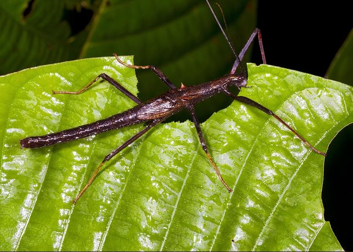 Acanthoclonia Greeting Card featuring the photograph Stick Insect Feeding On A Leaf by Science Photo Library