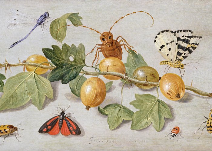 Gooseberry Greeting Card featuring the painting Still Life Of Branch Of Gooseberries by Jan Van Kessel