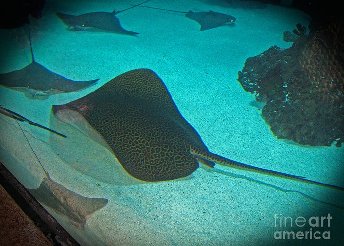 Stingray Greeting Card featuring the photograph Sting Rays by Connie Fox
